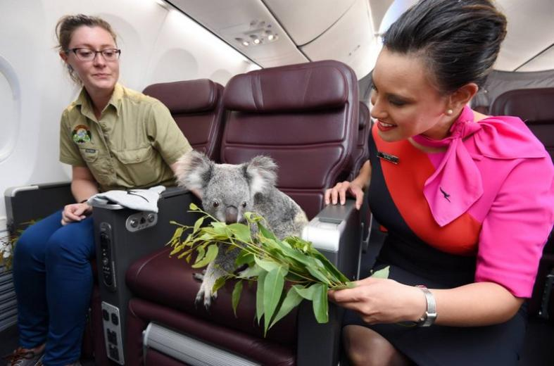 A Qantas stewardess brings lunch for one of the four koalas that will be coming to the Singapore Zoo.