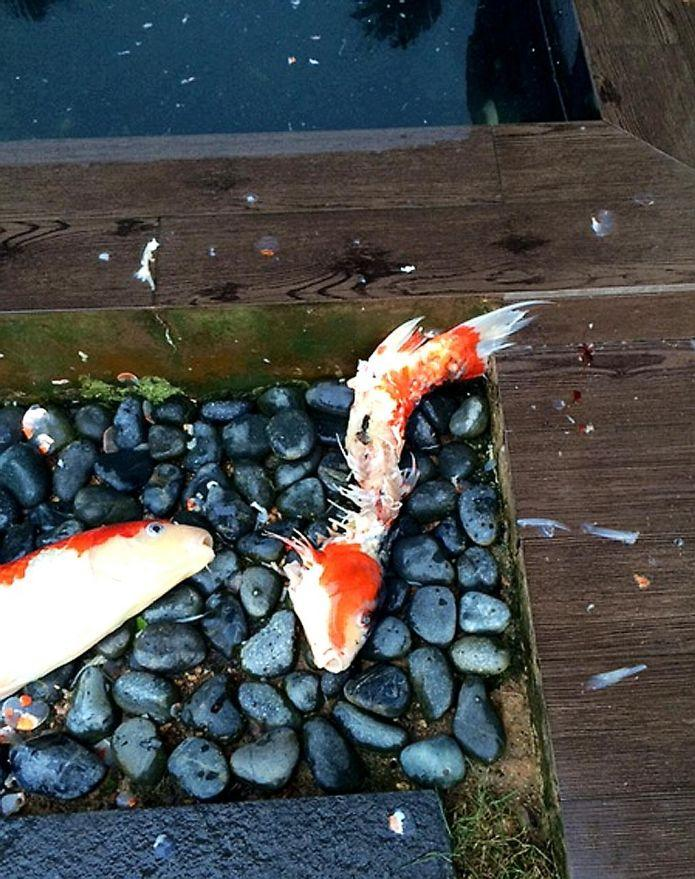 Sentosa cove resident uses electric fence to keep out for Keeping koi in a pond
