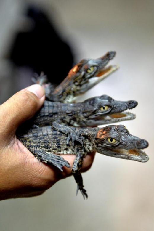 Crocodile farms in Singapore
