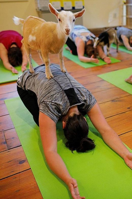 Downward-facing goat: Yoga trend draws flock