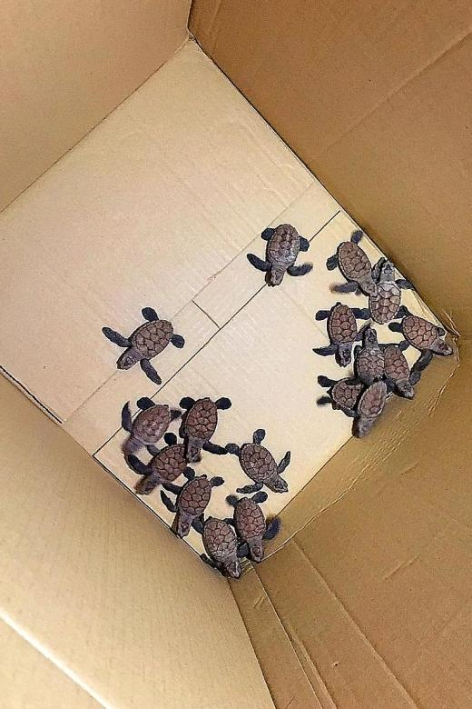 Public, NParks guide baby turtles into the sea