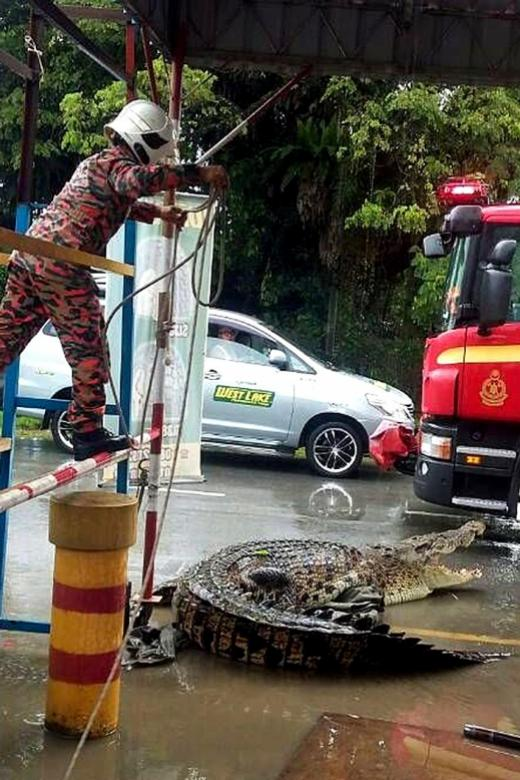 One-tonne croc gets all tyre-d up
