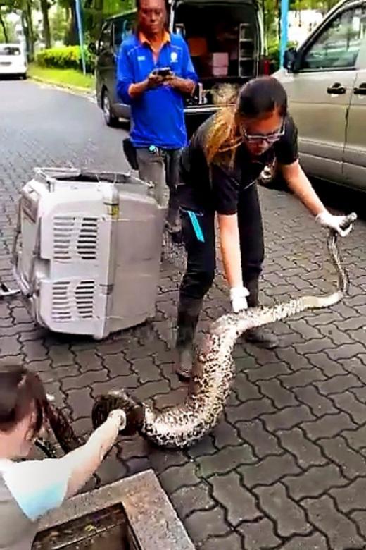 Women 2 Pythons 0