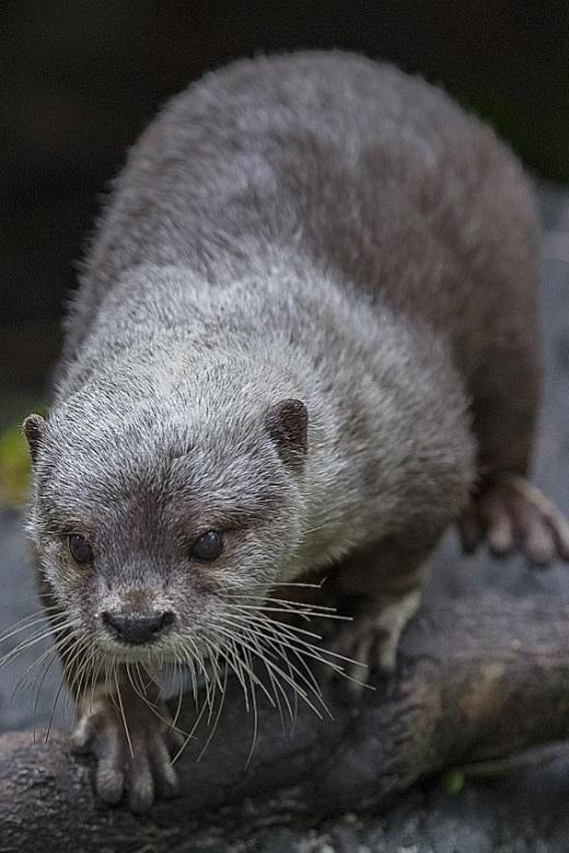 Local otters offspring of two different species