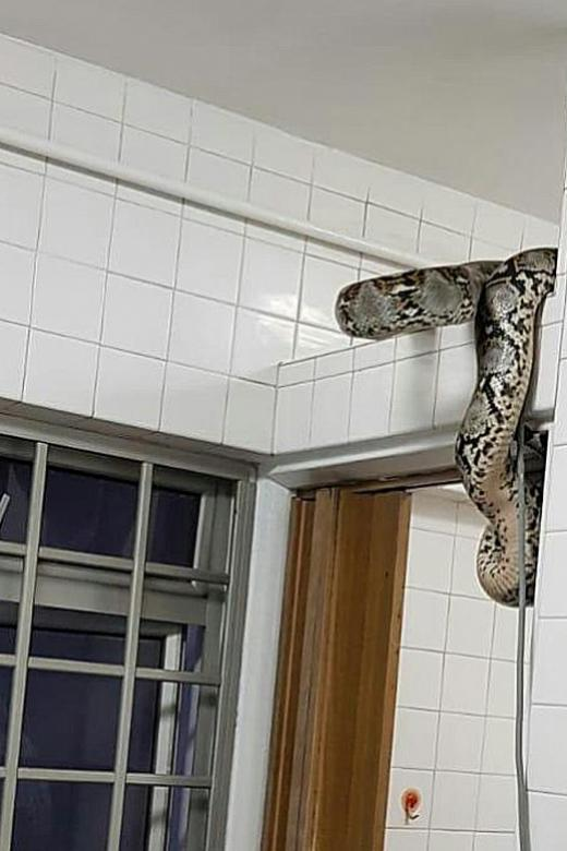 Panic as family finds 3m-long python in toilet, then