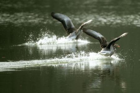 Goosebuster drone ensures a no-poop zone