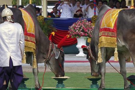 Cambodia's royal oxen predict 'quite good' harvest