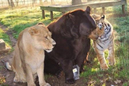 Bear, lion and tiger form an unlikely, lasting friendship. Awwwwww