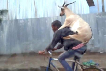 1 goat, 1 guy, 1 bike
