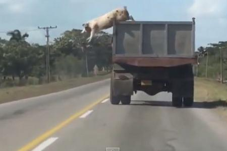 Pig makes dramatic escape from truck bound for slaughterhouse