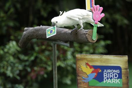 Jurong Bird Park's Sassy the Cockatoo predicts World Cup semi-finals