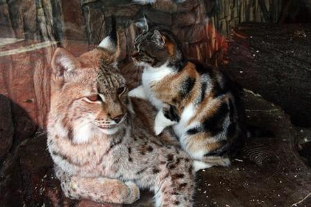 Cat forms unlikely friendship with lynx in zoo