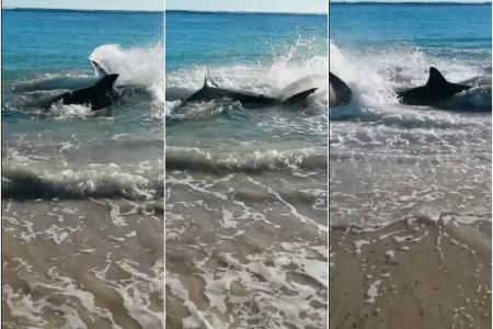 Great White shark chokes and dies on sea lion