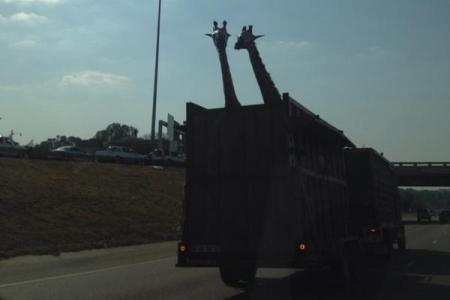 Giraffe dies after striking head against bridge while being taken in open truck
