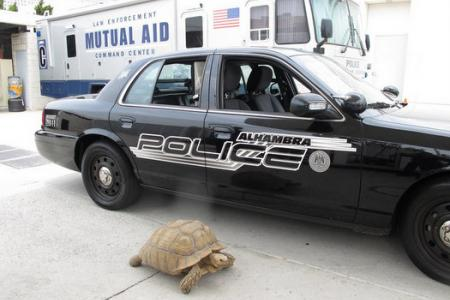 The police were in hot pursuit of this giant tortoise