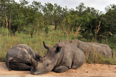 S.Africa to evacuate hundreds of rhino from poaching-hit park