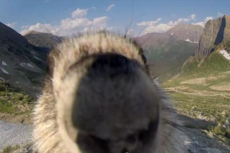 Photobombing marmot takes out Greenpeace glacier cam