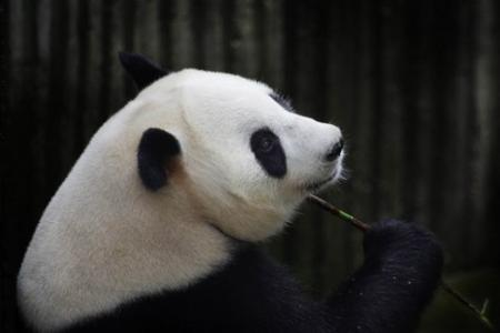 Panda faked being pregnant for extra food