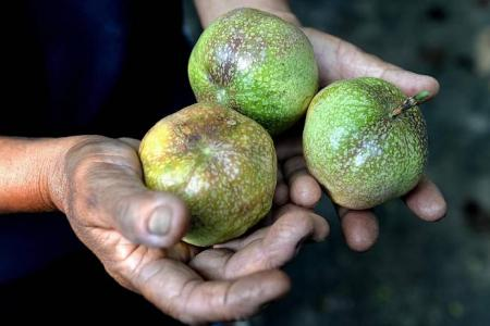 Sweet harvest for S'pore's local fruit growers