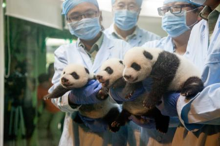 Watch cute panda triplets after they open their eyes for first time