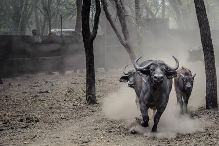 Man slashed to death in M'sia for stealing a buffalo