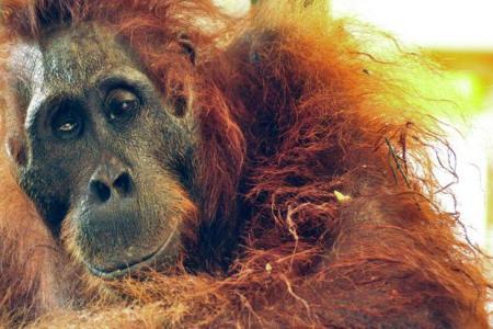 Borneo orangutan dies after being found with 40 bullets in her body