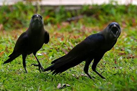 Crows attack people in Hougang