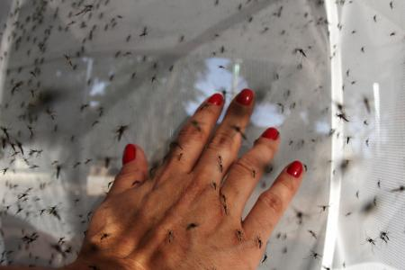 Genetically-modified mosquitoes released in China