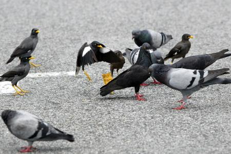 Pigeon arrested in India ... for spying?