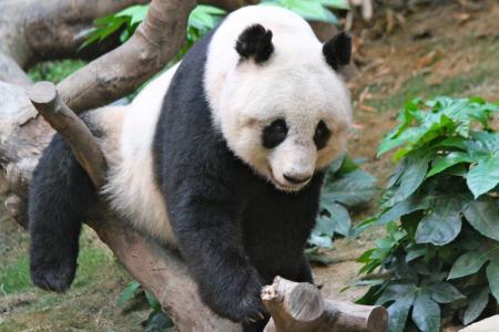 Hong Kong panda Jia Jia set for world record for oldest living panda in captivity
