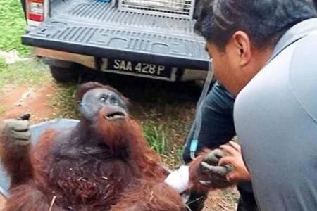 Orang utan dies two weeks after parang attack