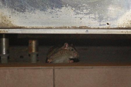 Rats found in 12th storey flat in Choa Chu Kang
