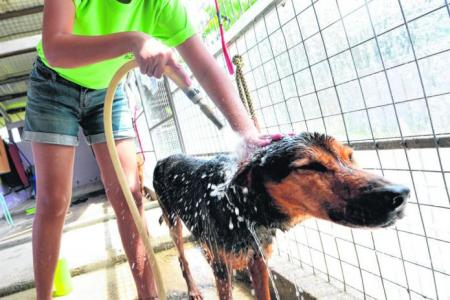 Singapore volunteers help walk dogs from animal shelters