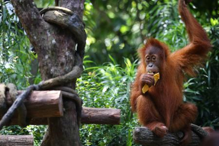 Singapore Zoo unveils iconic orangutan's granddaughter as the new Ah Meng