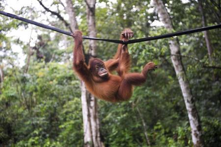 Orang utans die in fire to clear land