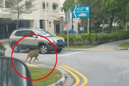 Boy chased, hurt in wild boar incident in Punggol