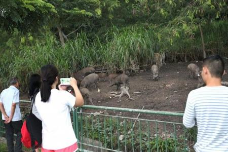 Families feeding wild boars at Lorong Halus as entertaiment