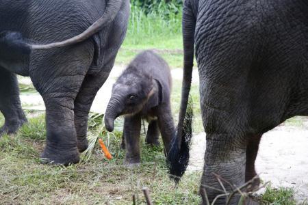 Meet the Night Safari's new baby elephant