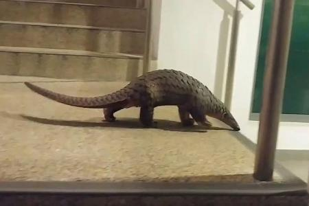 Second pangolin on campus
