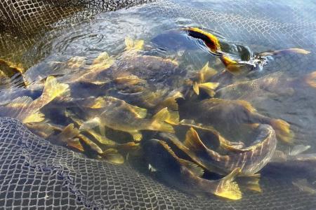 Fresh fish, farmed in Singapore