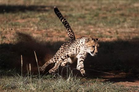 Only 7,100 cheetahs left in the wild