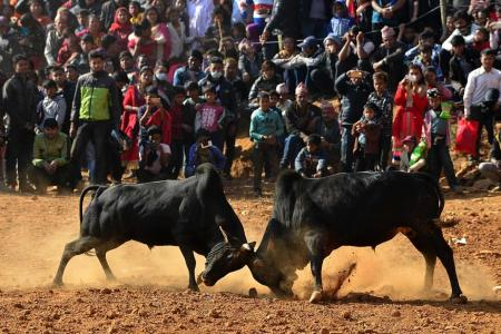 Bulls lock horns at Nepal winter festival