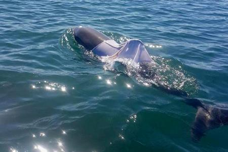 'It didn't swim into that T-shirt': Fears for dolphin dressed by revelers