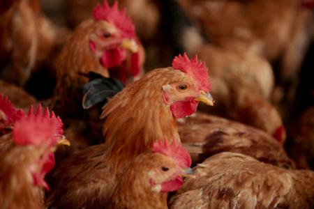 Keeping close watch on free-ranging chickens