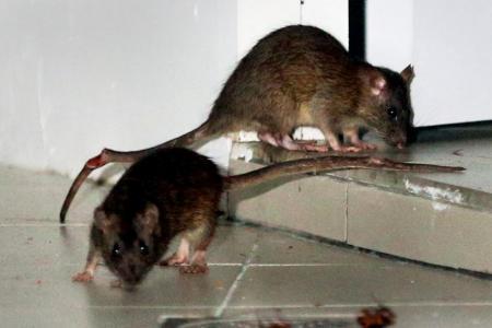 Rats back in Bukit Batok, town council hires pest control firms