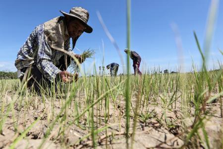 El Nino may return soon, hit Asian rice crops