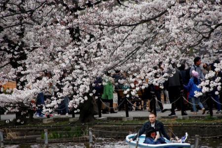 Sakura bloom comes after cold snap
