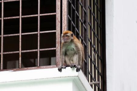 Segar Road's rogue monkey captured