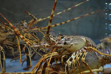 Indonesian police foil bid to smuggle lobster eggs to Singapore