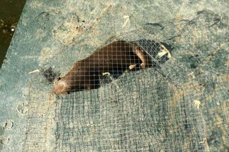 Dead otter found in a cage along the Marina Promenade in the Kallang Basin